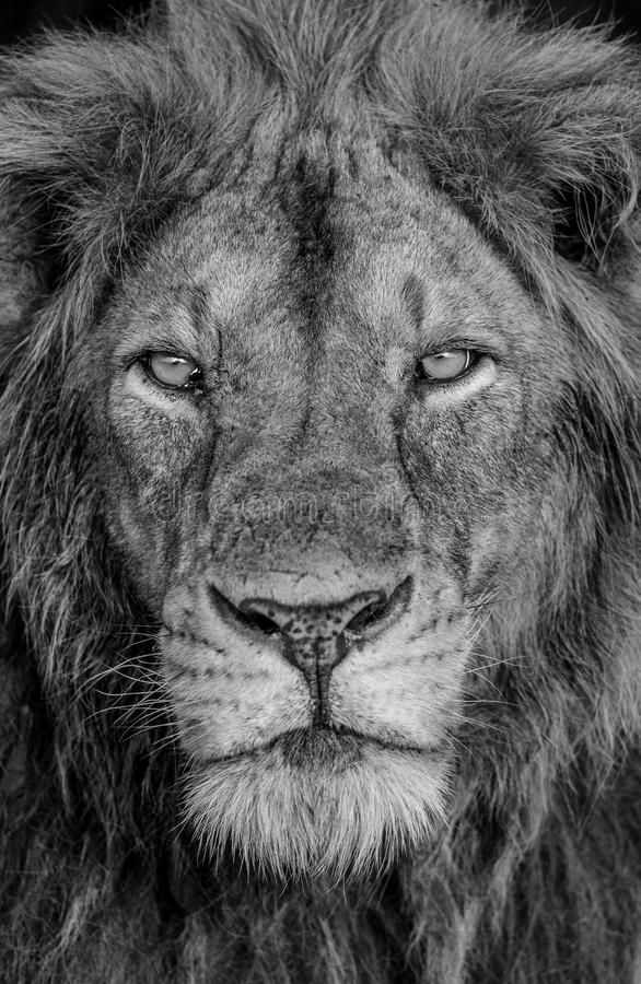 Portrait of a lion. Close-up. Uganda. East Africa. An excellent illustration stock photography