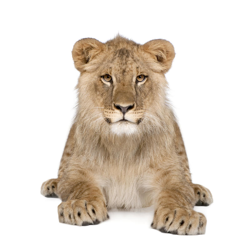 Portrait of lion cub against white background. Portrait of lion cub, Panthera leo, 8 months old, sitting in front of white background, studio shot royalty free stock photos