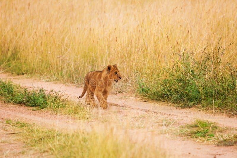 Portrait of lion cub walking in Kenyan savannah royalty free stock photo