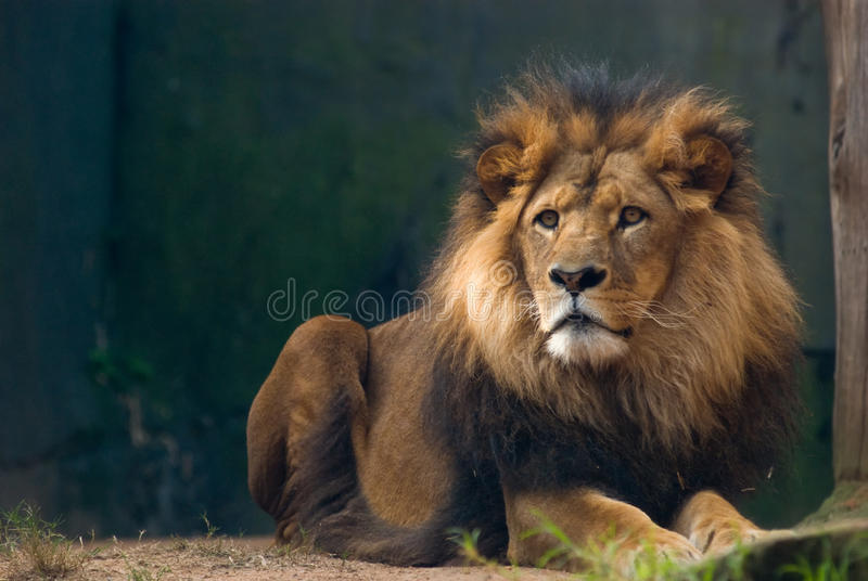 Portrait of a lion king. Portrait of an african lion, close up, king power stock photography