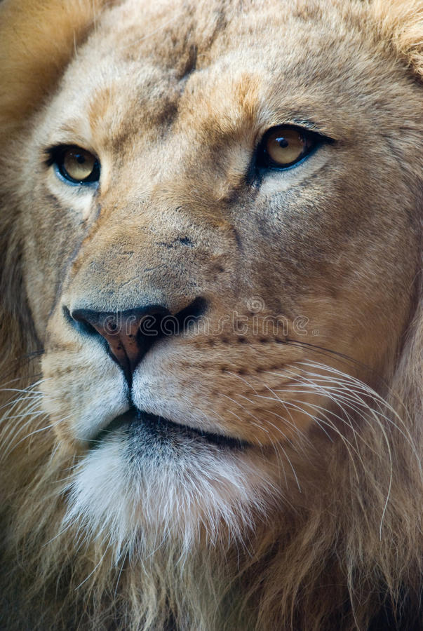 Portrait of a lion king. Portrait of an african lion, close up, king power stock photos