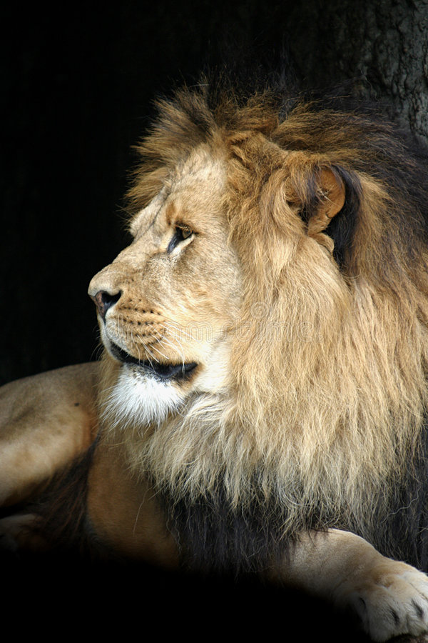 Portrait of a lion male stock photography