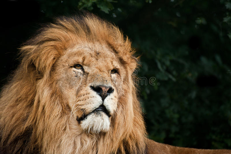 Portrait Of  Lion Panthera Leo Royalty Free Stock Photo