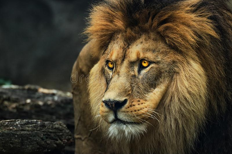 Portrait of a lion from a profile. Poster majestic lion. Photo from animal life royalty free stock photography