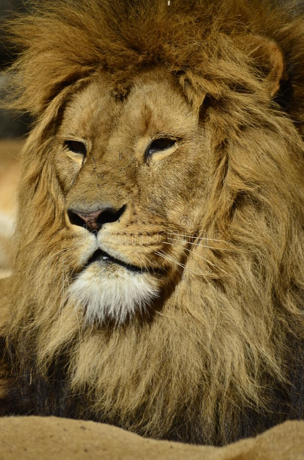 Portrait of a lion. In the sun stock photos