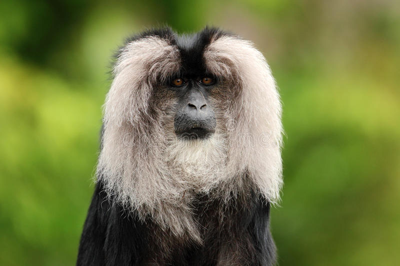 Portrait of Lion-tailed Macaque, Macaca silenus,. Black monkey with white face, Anamalai Hills Landscape, Western Ghats, India stock photos