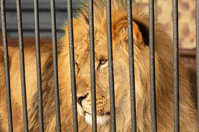 Portrait of a lion in the zoo.  royalty free stock photos