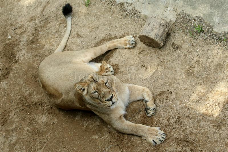 The portrait of the lion. In the zoological garden. Looking calm and relaxed stock images