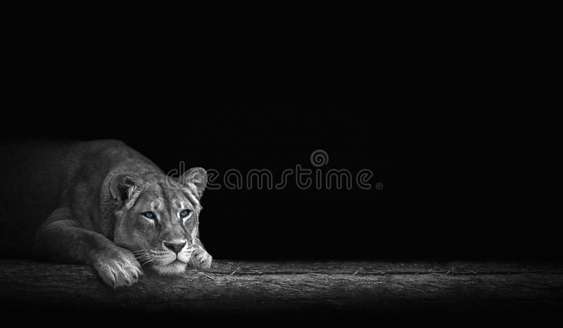 Portrait of a lioness. Portrait of a beautiful lioness and copy space royalty free stock photography