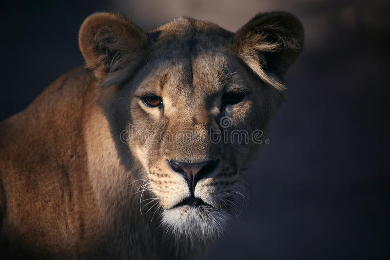 Portrait of a lioness close up royalty free stock photos