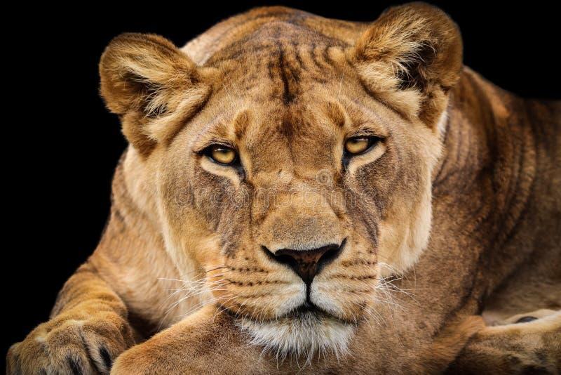 Portrait lioness stock photo