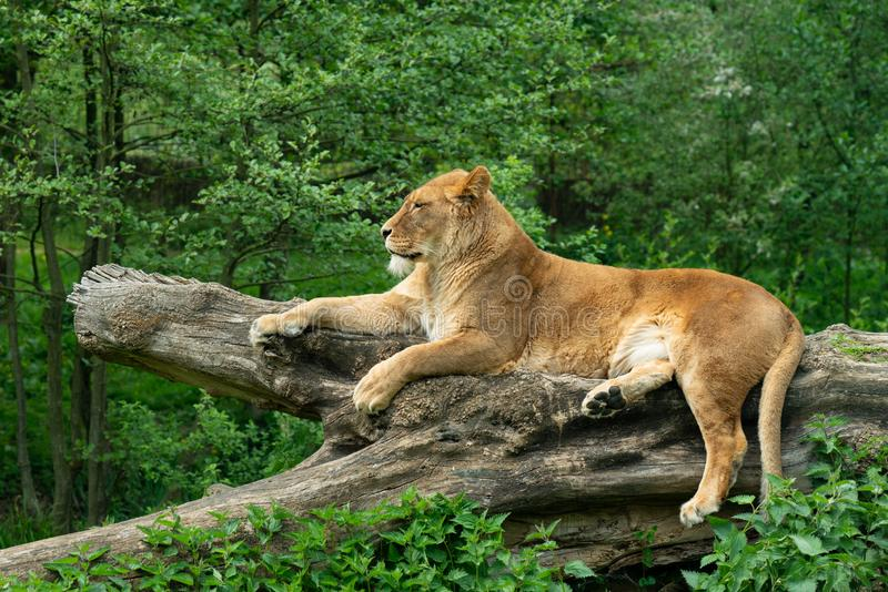 Portrait of a lioness who is resting on a tree trunk. Resting after having a meal stock photography