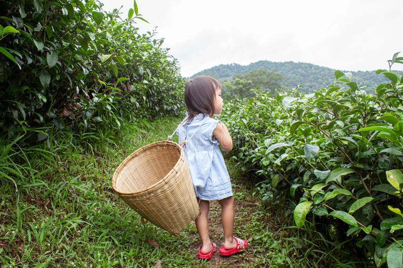 Portrait of little asian girl with bamboo basket on her back in a tea plantation.  stock photos