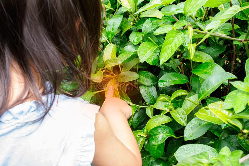 Portrait of little asian girl picking tea leaves at a tea plantation and the insect bites her hand stock photos