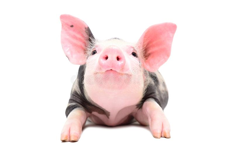 Portrait of a little cheerful pig stock photo