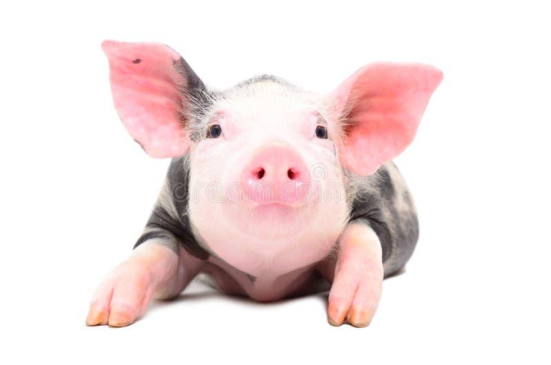 Portrait of a little cute pig stock photo
