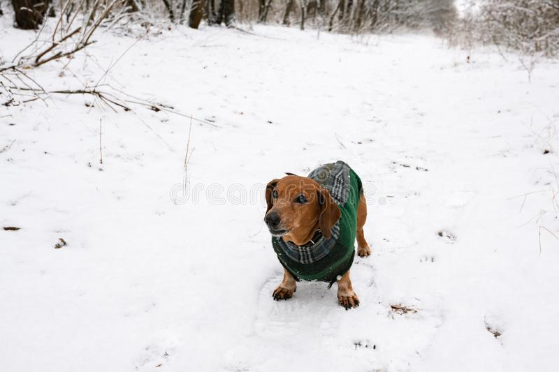 Portrait of a little dog, dressed in a coat stock images
