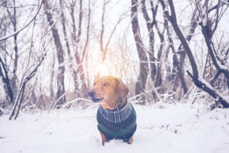 Portrait of a little dog, dressed in a coat royalty free stock image