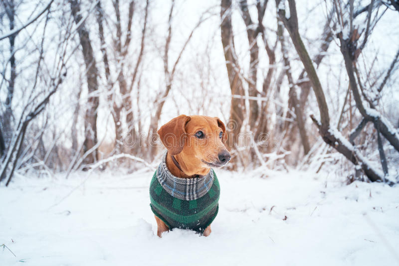 Portrait of a little dog, dressed in a coat. In the winter woods. Toned image royalty free stock images