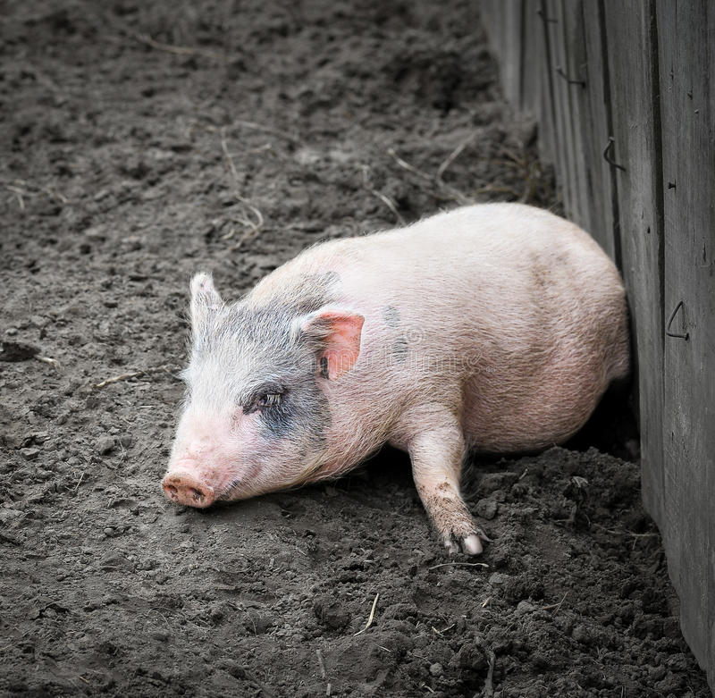 Portrait of a little funny piglet on a farm. Little pink piglet and dirty ground. Farm animals. Gray dwarf Vietnamese pig royalty free stock images