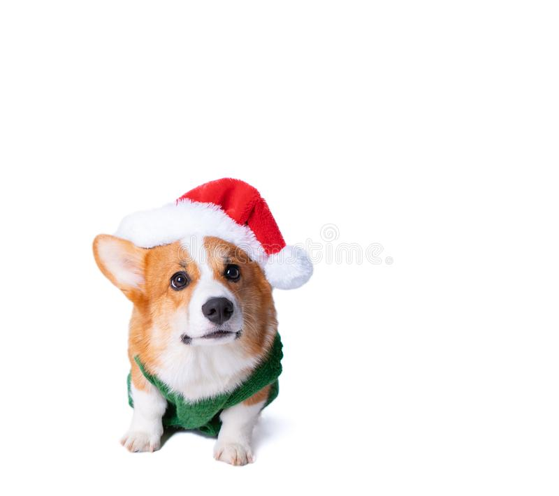 Portrait of the little funny puppy corgi in red santa claus cap, standing in studio isolated on white royalty free stock photos