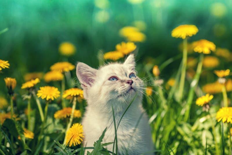 Little kitten walking on the dandelion field stock photo