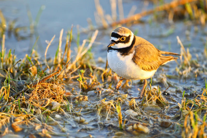 Download Portrait Of A Little Ringed Plover Stock Photo - Image of charadrius, rare: 19490112