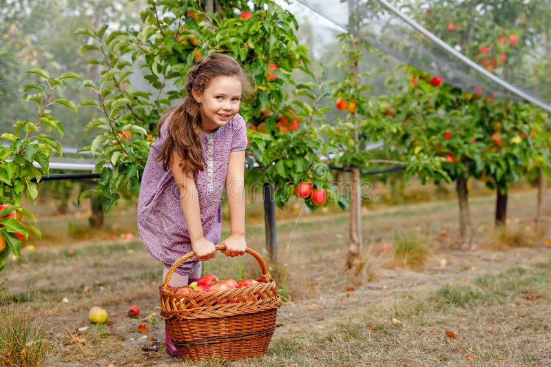 Portrait of little schoool girl in colorful clothes and rubber gum boots with red apples in organic orchard. Adorable stock image
