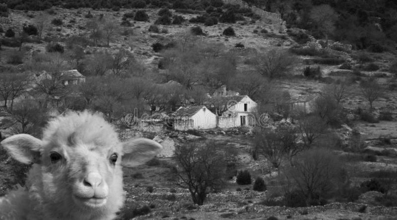 Portrait of a little sheep in a rural setting. Black and white photography royalty free stock photos