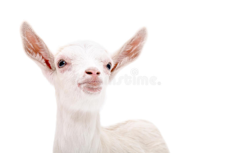 Portrait of a little white goat looking up stock photo