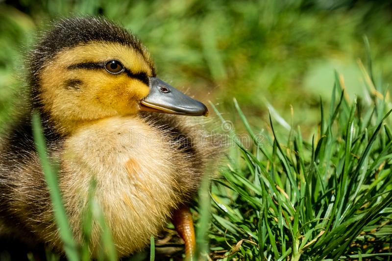 Portrait of a little yellow baby duck stock image