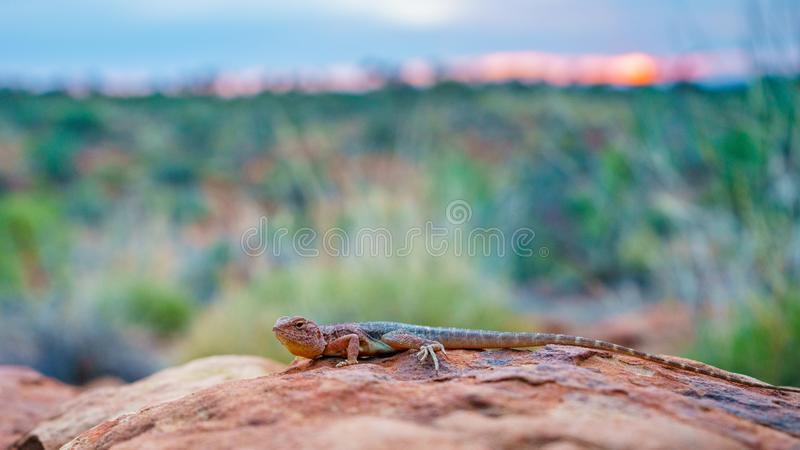 Lizard in the sunset of kings canyon, northern territory, australia 2. Portrait of a lizard in the sunset of kings canyon, northern territory, australia royalty free stock photos
