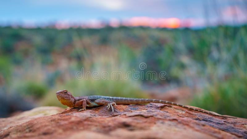 Lizard in the sunset of kings canyon, northern territory, australia 5. Portrait of a lizard in the sunset of kings canyon, northern territory, australia royalty free stock image