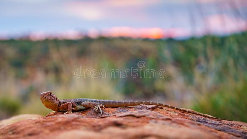Lizard in the sunset of kings canyon, northern territory, australia 6. Portrait of a lizard in the sunset of kings canyon, northern territory, australia royalty free stock photo