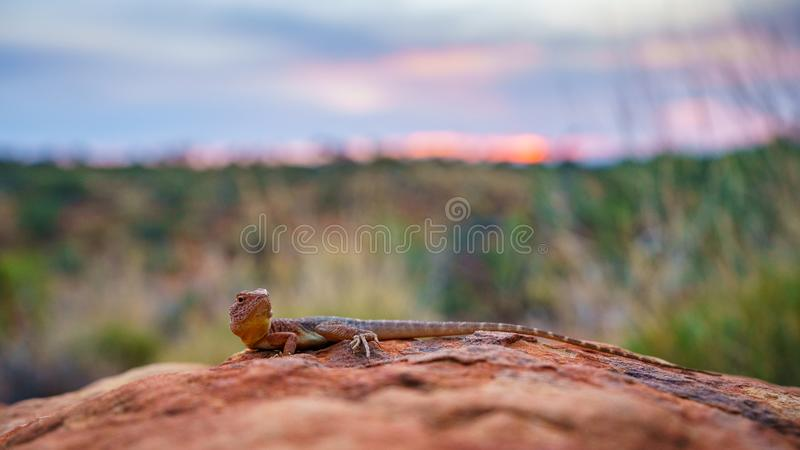 Lizard in the sunset of kings canyon, northern territory, australia 9. Portrait of a lizard in the sunset of kings canyon, northern territory, australia royalty free stock photography