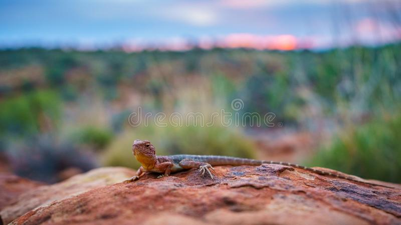 Lizard in the sunset of kings canyon, northern territory, australia 16. Portrait of a lizard in the sunset of kings canyon, northern territory, australia royalty free stock photo