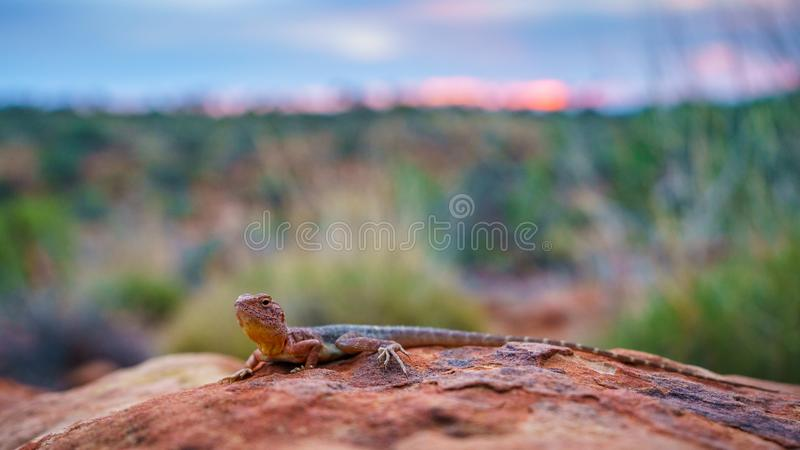 Lizard in the sunset of kings canyon, northern territory, australia 22. Portrait of a lizard in the sunset of kings canyon, northern territory, australia stock photos