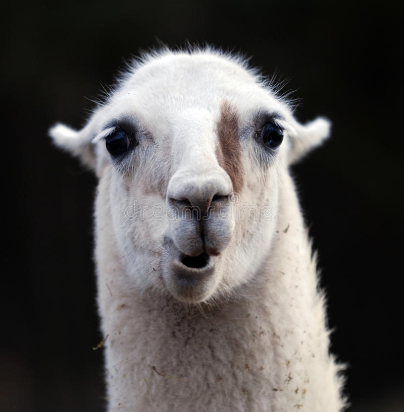 Portrait of Llama royalty free stock photos