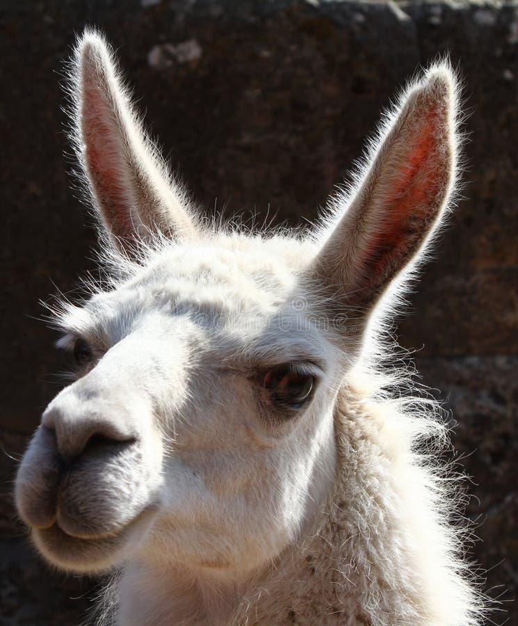 Portrait of a Llama royalty free stock photo