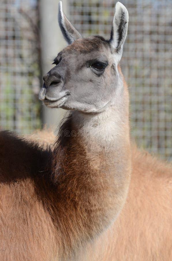 Download Portrait of a Llama stock image. Image of america, glama - 23801487