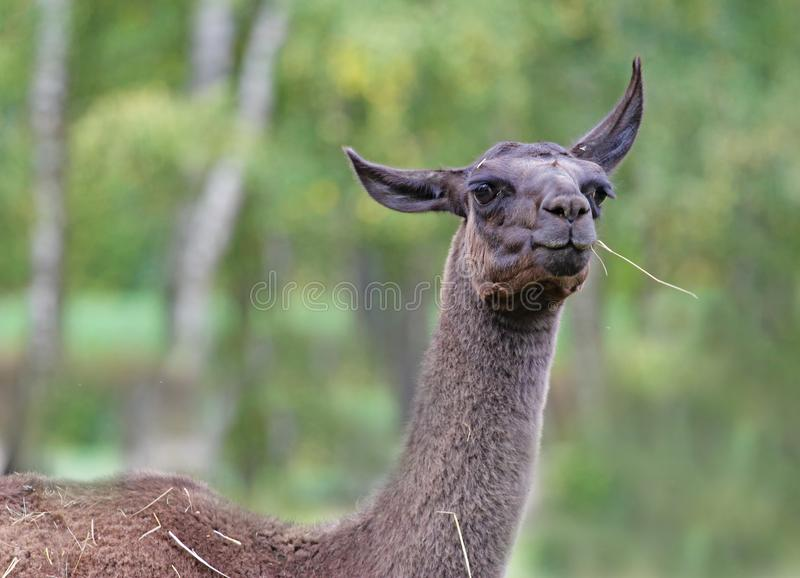 Portrait of llama with bokeh background royalty free stock images