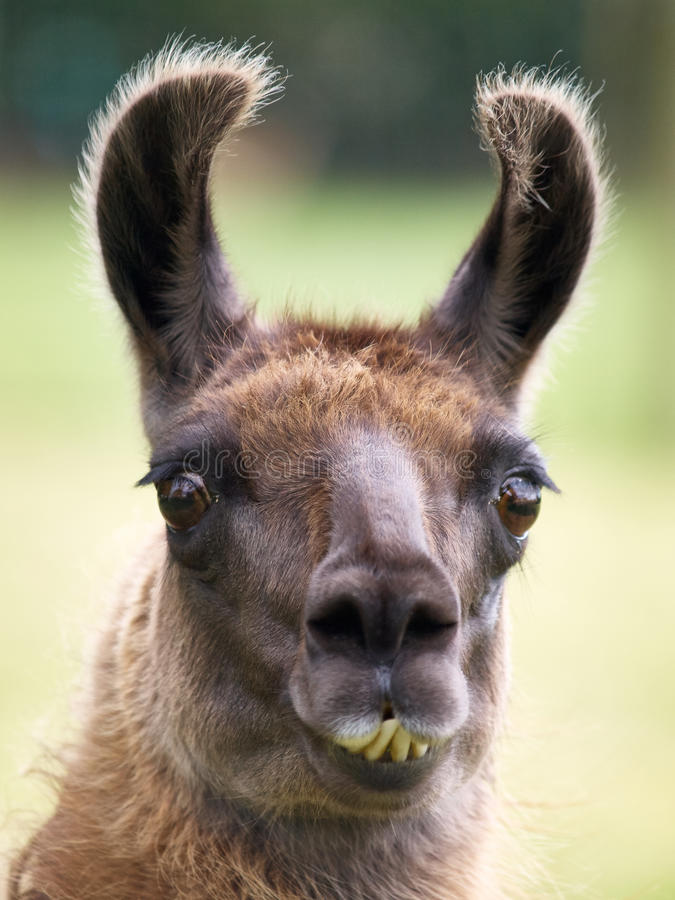Portrait of a Llama. Portrait of a funny looking Llama with yellow teeth and big brown eyes stock photo
