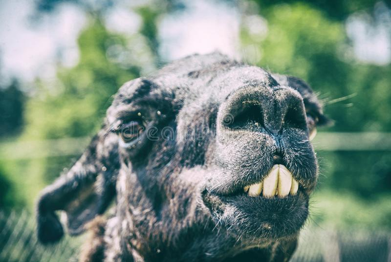 Portrait of llama with funny teeth, analog filter. Portrait of llama with funny teeth. Animal scene. Analog photo filter with scratches stock image