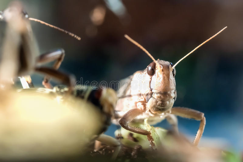 Portrait of locusts royalty free stock images