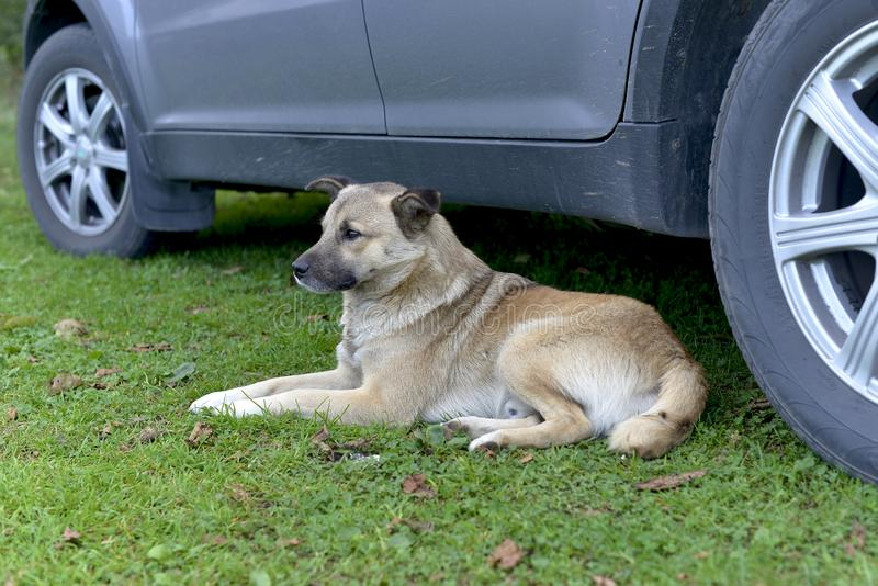 Portrait of a lonely homeless dog, very friendly to people. Lying by the car stock photo