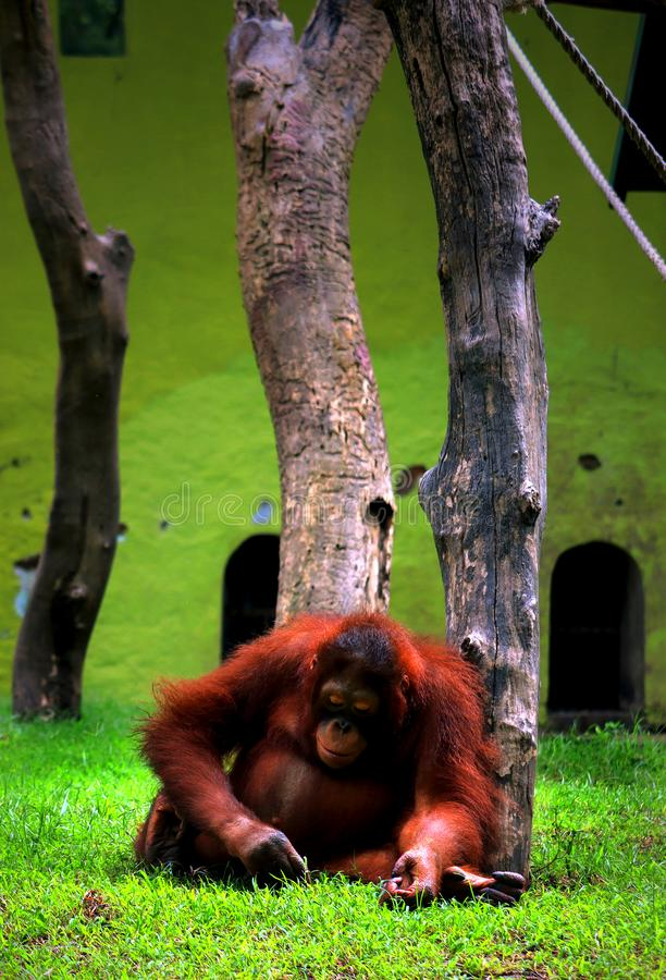 Portrait of a lonely orangutan in the zoo. Portrait of a lonely orang utan in Surabaya zoo, Indonesia royalty free stock image