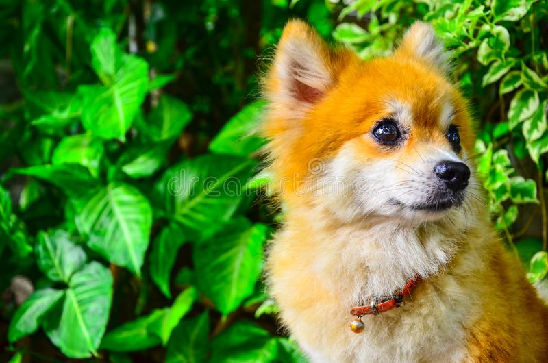 A portrait of a Long Haired Chihuahua  in garden. Attentive, canine, curious, dog, friendy, friendly, obedient, pet, post, puppy, resting, small, stare, tiny royalty free stock photo