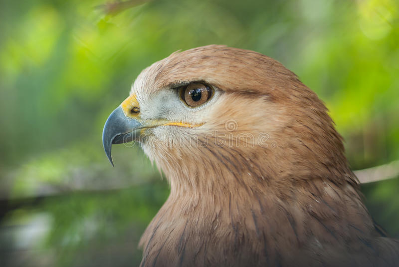 Portrait of Long-legged Buzzard Buteo rufinus royalty free stock photography