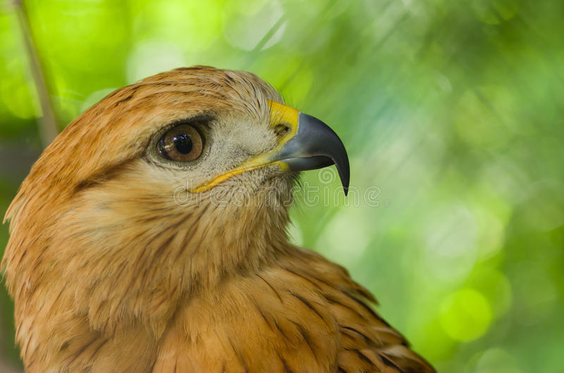 Download Portrait Of Long-legged Buzzard Stock Photo - Image: 34277750