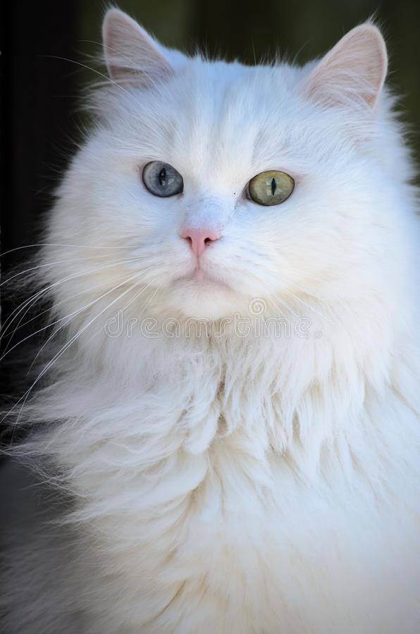 38 539 White Cat Blue Eyes Photos Free Royalty Free Stock Photos From Dreamstime